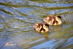 Two  ducklings are swimming in the pond. royalty free stock photography