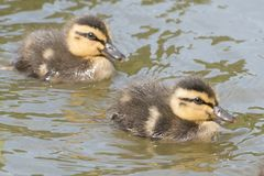 Two ducklings on the water. On Southampton Common stock images