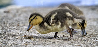 Two ducklings which eat Stock Photos