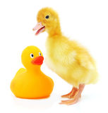 Two ducklings Royalty Free Stock Image