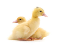 Two ducklings. Stock Photo