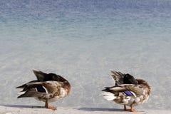 Two ducks. Two wild ducks preening on the beach Stock Photos