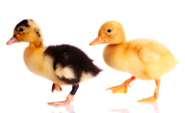 Two ducks Royalty Free Stock Photos