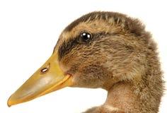 Two ducks Stock Image