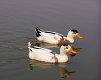 Two ducks Royalty Free Stock Photography