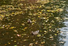 Two ducks on a autumn water. Grey two ducks on a autumn water Royalty Free Stock Images