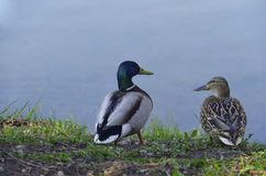 Two ducks. On the bank at a reservoir Royalty Free Stock Photography