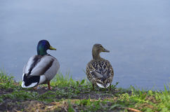 Two ducks. On the bank at a reservoir Royalty Free Stock Photo