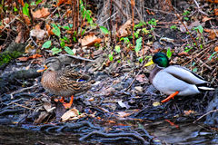 Two ducks on the banks of the winter river. Stock Photos