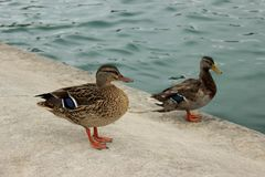Two ducks in a city fountain Royalty Free Stock Photography