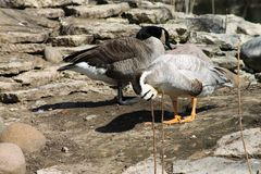 Two ducks clean their feathers stock image