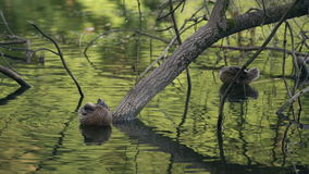 Two Ducks Cleaning Their Feathers Between The Trees In The Lake. Water Birds In Natural Environment In Summer Day Footage stock video footage