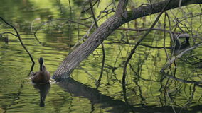 Two Ducks Cleaning Their Feathers Between The Trees In The Lake. Water Birds In Natural Environment In Summer Day Footage stock footage