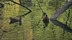 Two Ducks Cleaning Their Feathers Between The Trees In The Lake. Water Birds In Natural Environment In Summer Day Footage stock video