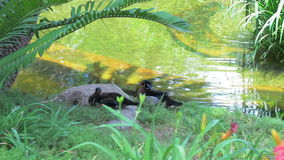Two ducks cleaning themselves by a pond. As camera dollies forward stock video footage