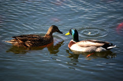 Two ducks. Crossing eachother while swimming in lake Stock Photography
