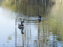 Two ducks in crystal clear lake Royalty Free Stock Image