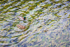 Two ducks on the crystal clear lake Royalty Free Stock Photo