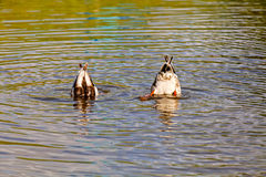 Two ducks diving. In the river Stock Photo