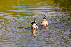 Two ducks diving. In the river Royalty Free Stock Photo