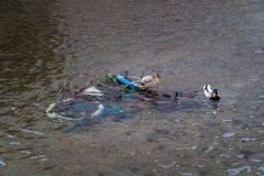 Two ducks Drake Mallard sitting on an abandoned bicycle in a river royalty free stock image
