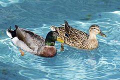 Two Ducks Drake and Mate Swim Together. Detailed Feathers on Two Mallard Birds Swimming in the Pool in the Park Royalty Free Stock Image