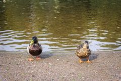 Two ducks - duck and drake standing on the lake`s shore with water edge on background stock photos