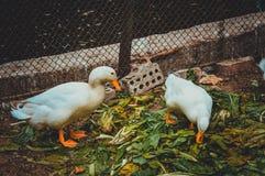 two ducks eating Stock Photo
