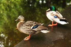 Two ducks are on edge of pond. Royalty Free Stock Photo
