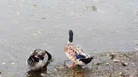 Two ducks royalty free stock photos