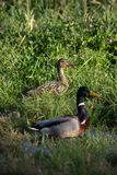 Two ducks in some long grass. Two ducks female and male sitting in some long grass waiting for me to leave Stock Photography