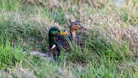 Two ducks in some long grass. Two ducks female and male sitting in some long grass waiting for me to leave Royalty Free Stock Image