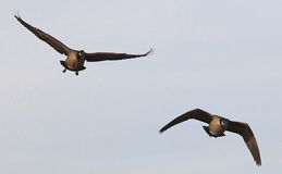 Two Ducks in Flight Stock Photography