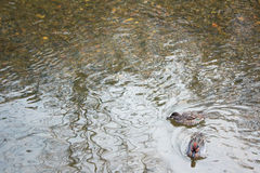 Two ducks float at the corner Stock Photography