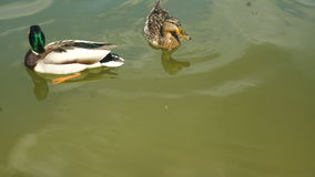 Two ducks float in the Lake. Close up stock footage
