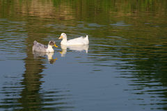 Two ducks float in a pond in a summer sunny day. Royalty Free Stock Photo