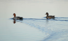 Two ducks floated down the river. The landscape of the Northern Royalty Free Stock Photography