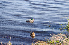 Two ducks floating peacefully in water Royalty Free Stock Image