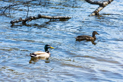 Two ducks floating in a submerged tree. Royalty Free Stock Photography