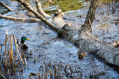 Two ducks floating in a submerged tree. Stock Photos