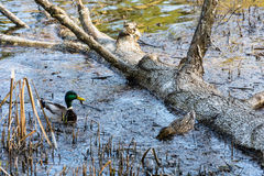 Two ducks floating in a submerged tree. Royalty Free Stock Image