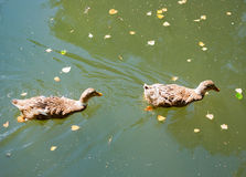 Two ducks floating on water in autumn Royalty Free Stock Images