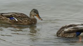 Two ducks floating water surface ducking closeup. Close up water mallard birds swimming playing ocean background stock video footage
