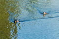 Two ducks floating on the water surface of the reservoir. One as if wants to catch up with another and with all his. Might lifting his head hurries after her Stock Images