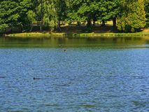 Two ducks flying on the lake surface. Green trees side royalty free stock photography