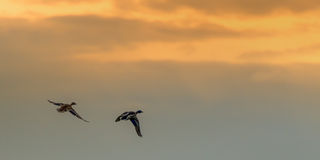 Two Ducks Flying Into Sunset. Two a male anda  feamale mallard duck flying into the evening sunset together in spring Royalty Free Stock Image