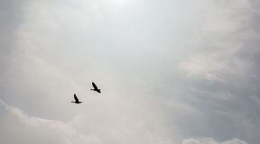 Two ducks flying together Royalty Free Stock Images