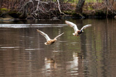 Two ducks flying very close to a lake. Two mallards flying over Belmont Lake in a New York State Park Stock Photography