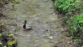 Two ducks in the forest on the river looking for food. HD stock footage