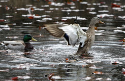 Two ducks in a fountain Stock Photography